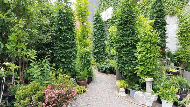 hornbeam_forest_marieviljoen_gowanus_nursery_gardenista