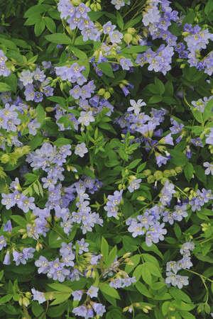 Polemonium Reptans Gardenista