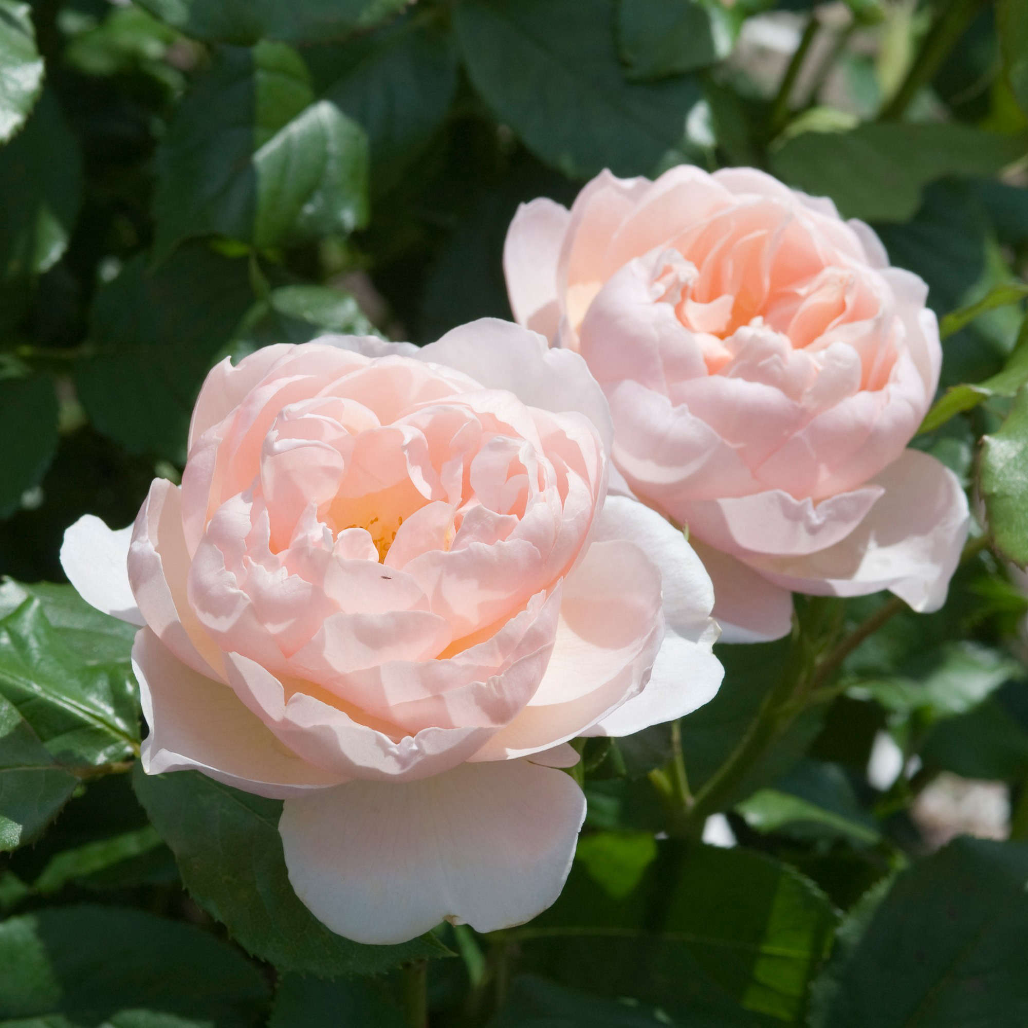 John Scheepers Kitchen Garden Seeds Roses Curated Collection From Gardenista