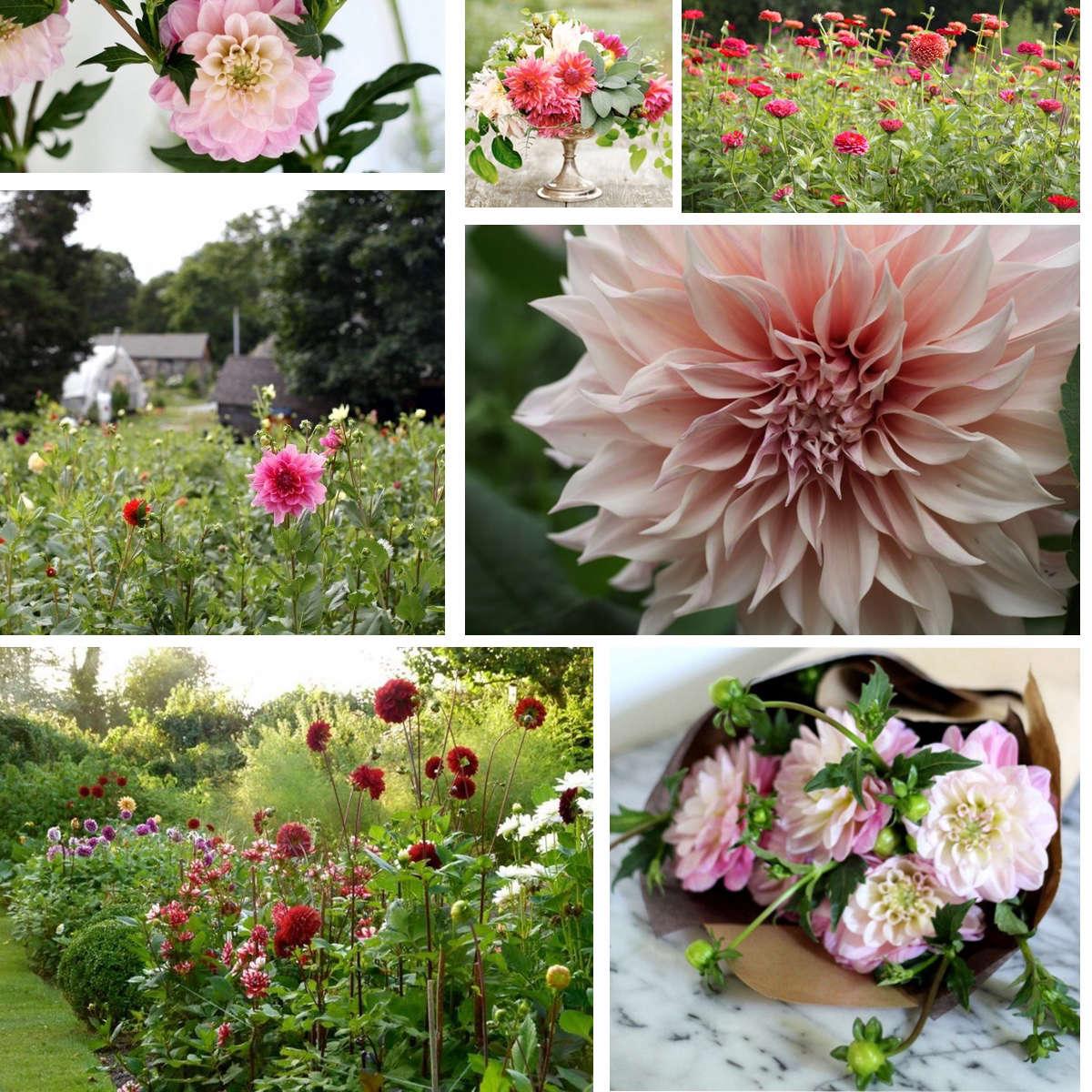 Field Guide: Dahlias | Gardenista: Sourcebook for Outdoor Living ...