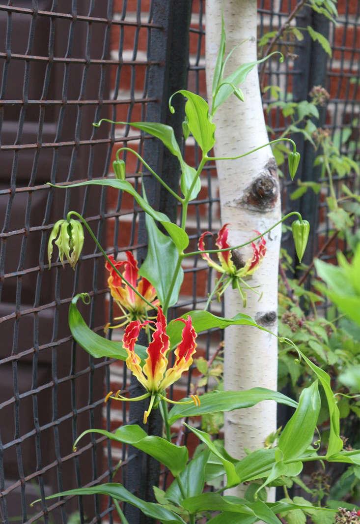gloriosa_hogwire_fence_marieviljoen_gardenista