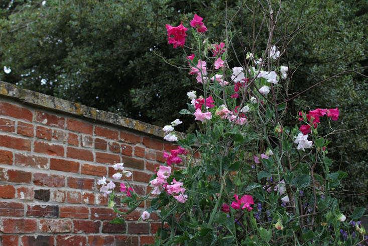 charlotte-fidler-sweetpeas-12-gardenista