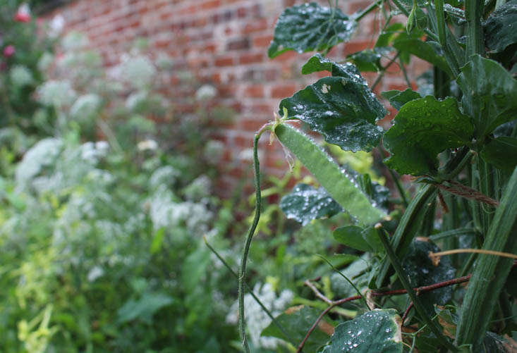 charlotte-fidler-sweetpeas-13-gardenista