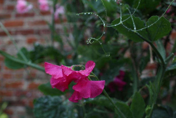 charlotte-fidler-sweetpeas-14-gardenista