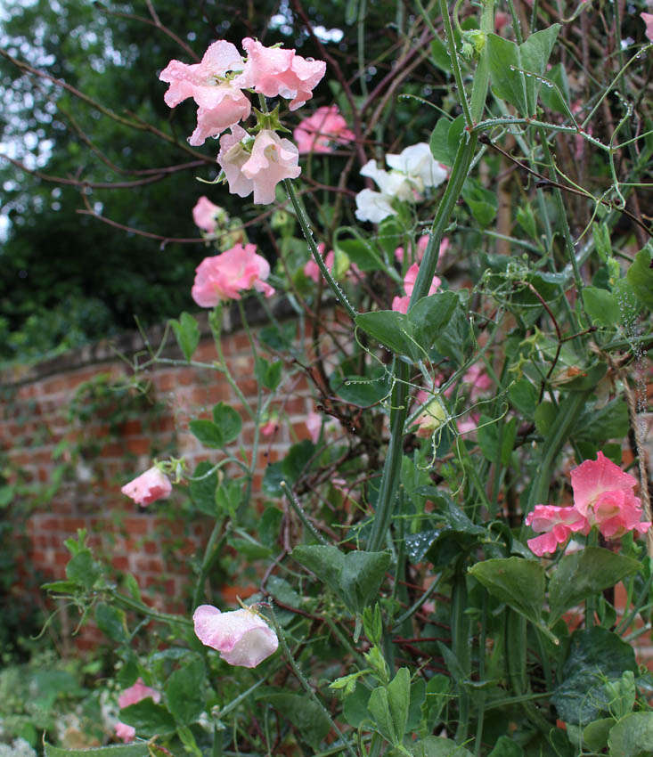 charlotte-fidler-sweetpeas-16-gardenista