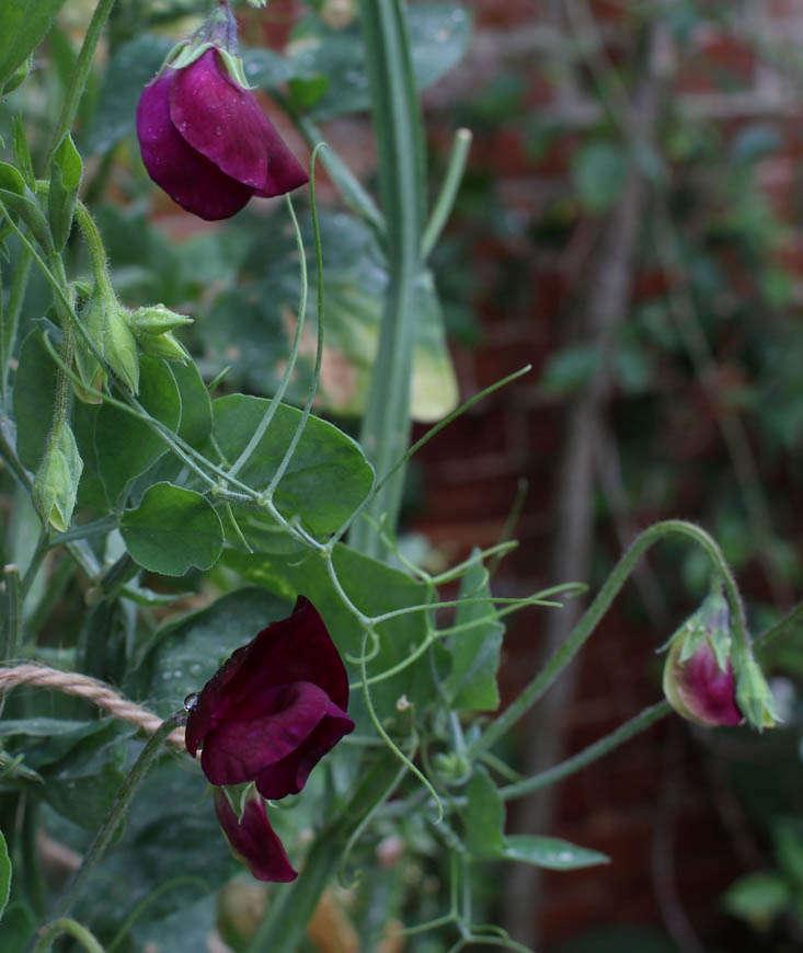 charlotte-fidler-sweetpeas-17-gardenista