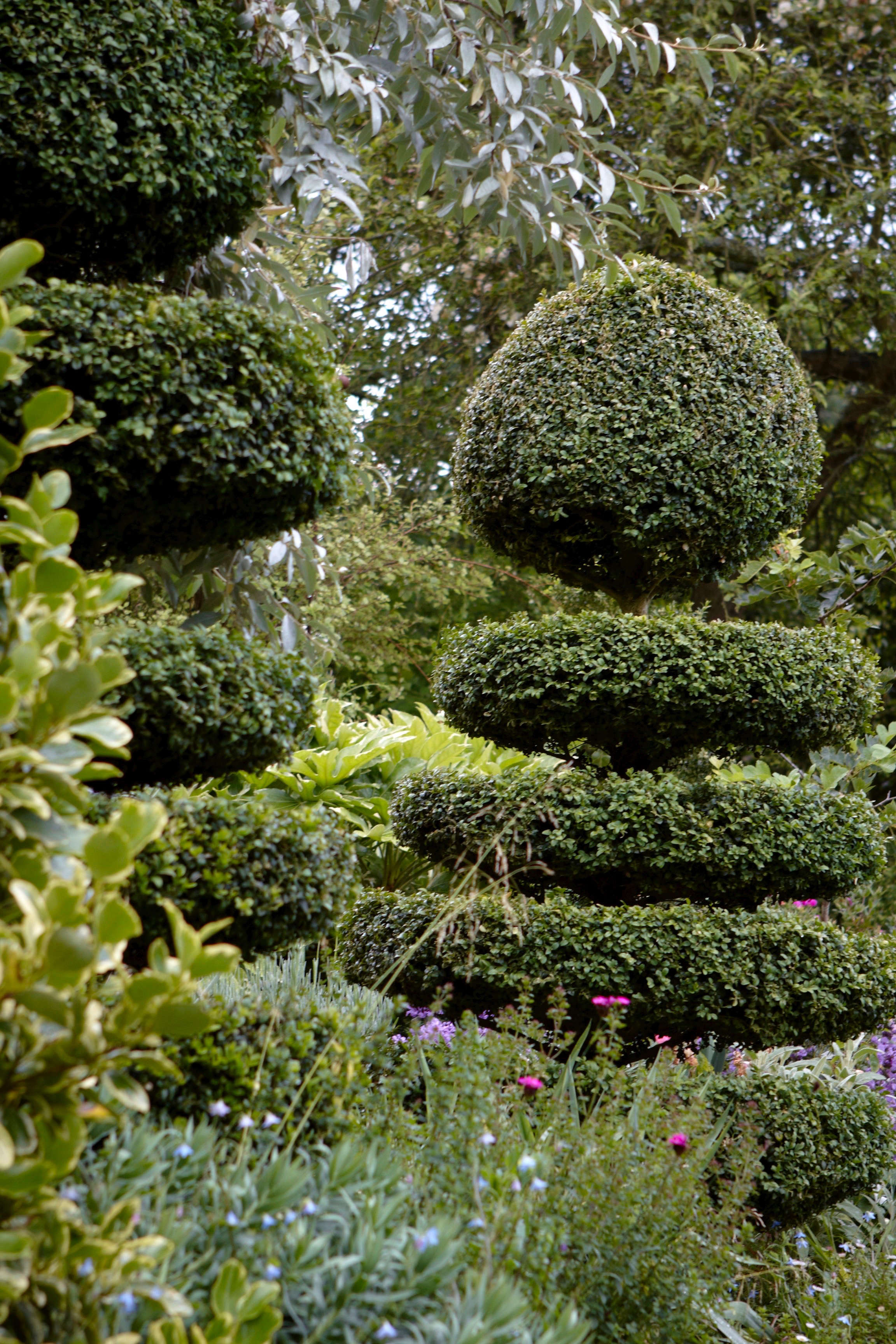 Above: While All Types Of Boxwood Are Vulnerable, Andrea Filippone, Who  Specializes In Growing Boxwood And Has Been Studying The Blight, Says  English ...