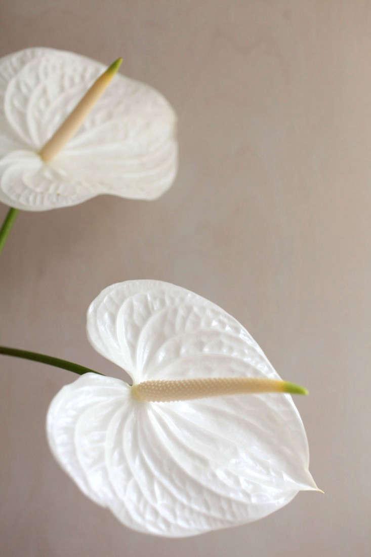 Gardenista-anthuriums-sophia-moreno-bunge-1