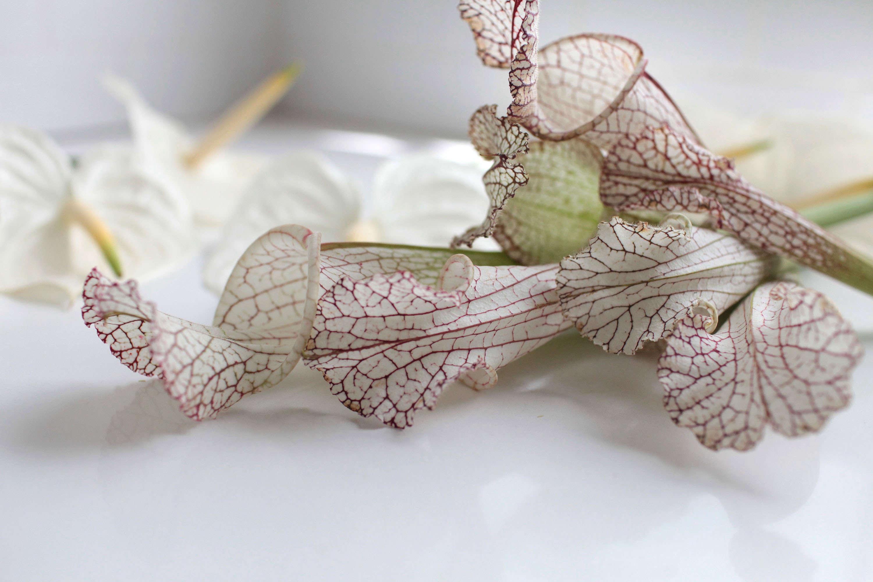 Gardenista-anthuriums-sophia-moreno-bunge-sarracenia