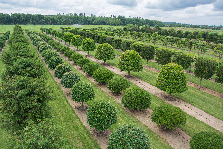 Solitair Specimen Trees Belgium Gardenista