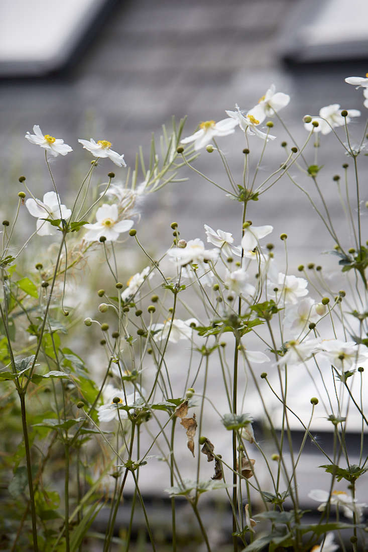 anemones-white-britt-willoughby-dyer-gardenista-BN2A0047