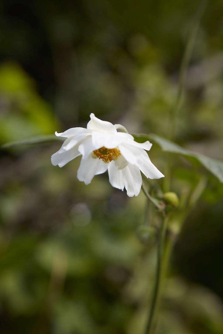 anemones-white-britt-willoughby-dyer-gardenista-BN2A0056