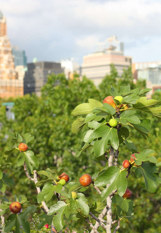 Sweet Season: 11 Favorite Recipes for Fresh Figs   Gardenista ...