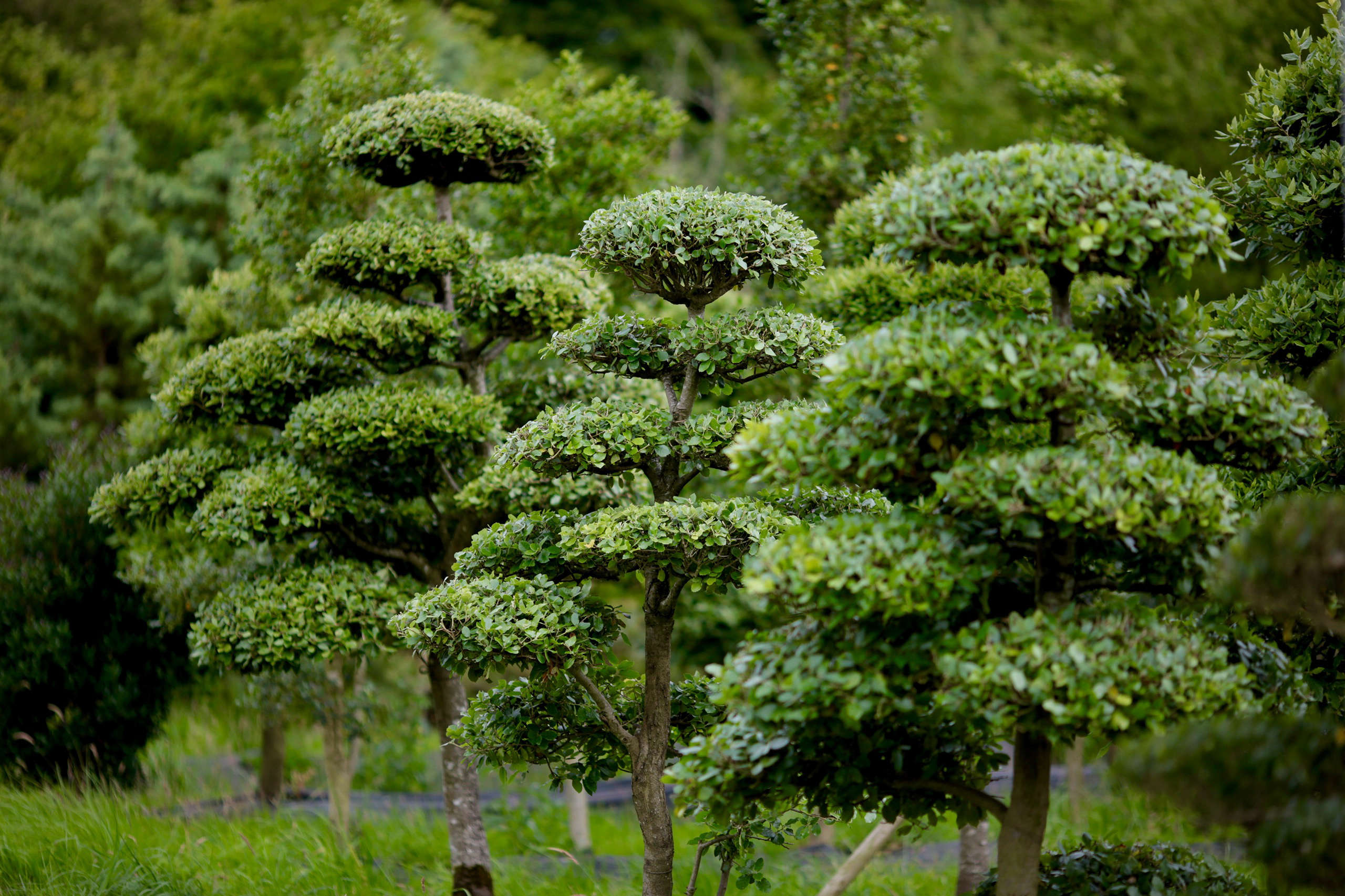 Specimen trees are they worth it gardenista for Specimen evergreen trees small