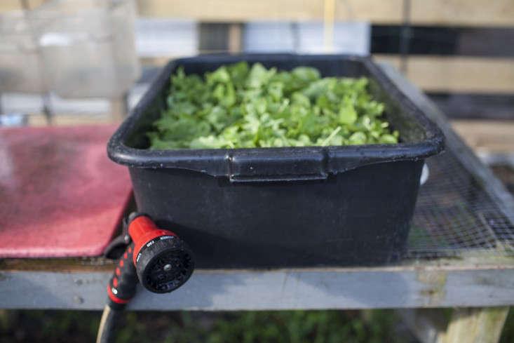 greyfield-inn-lettuce-harvest-bucket-hose-gardenista