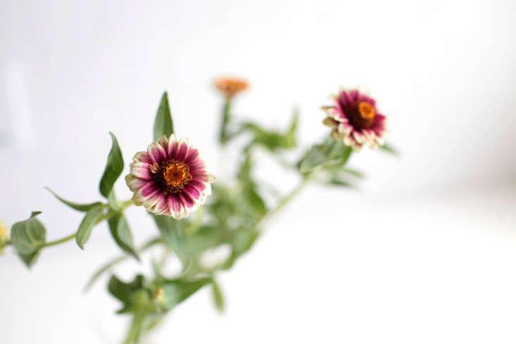 zinnias-sophia-moreno-bunge-gardenista-2