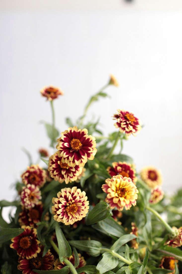 zinnias-sophia-moreno-bunge-gardenista-3
