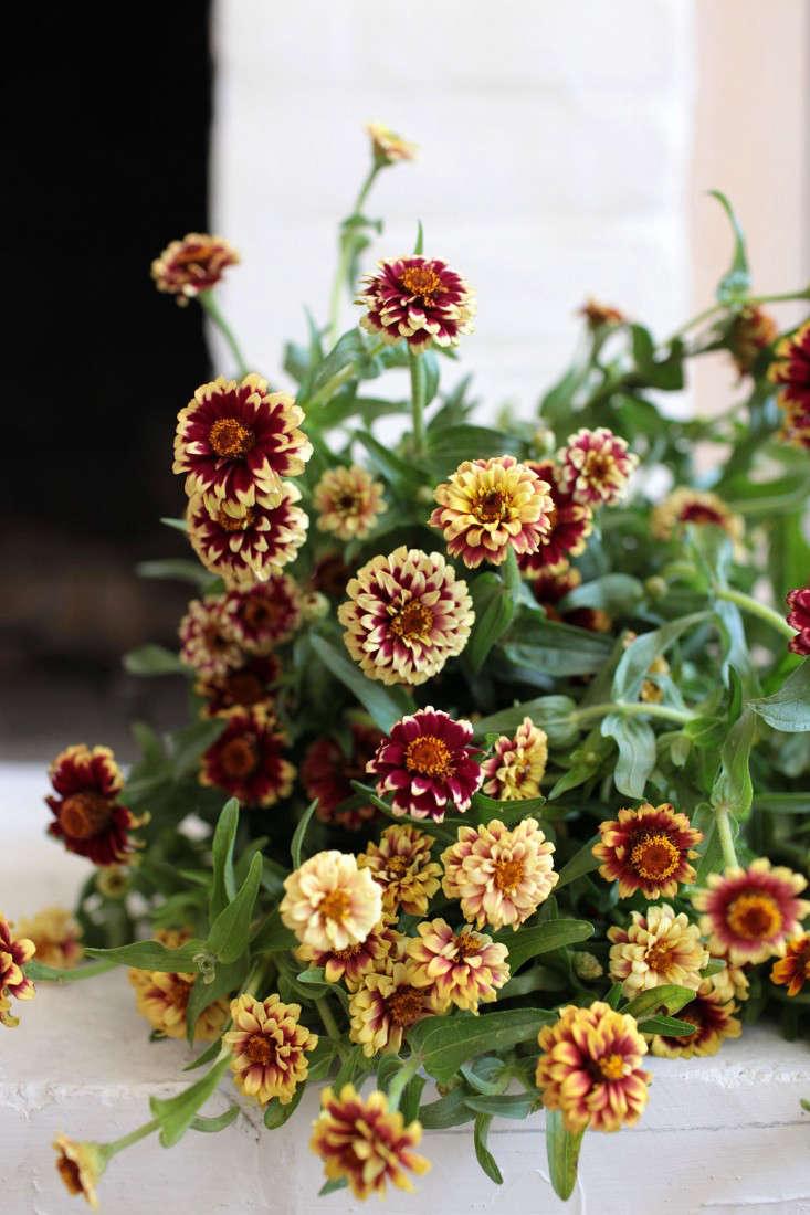 zinnias-sophia-moreno-bunge-gardenista