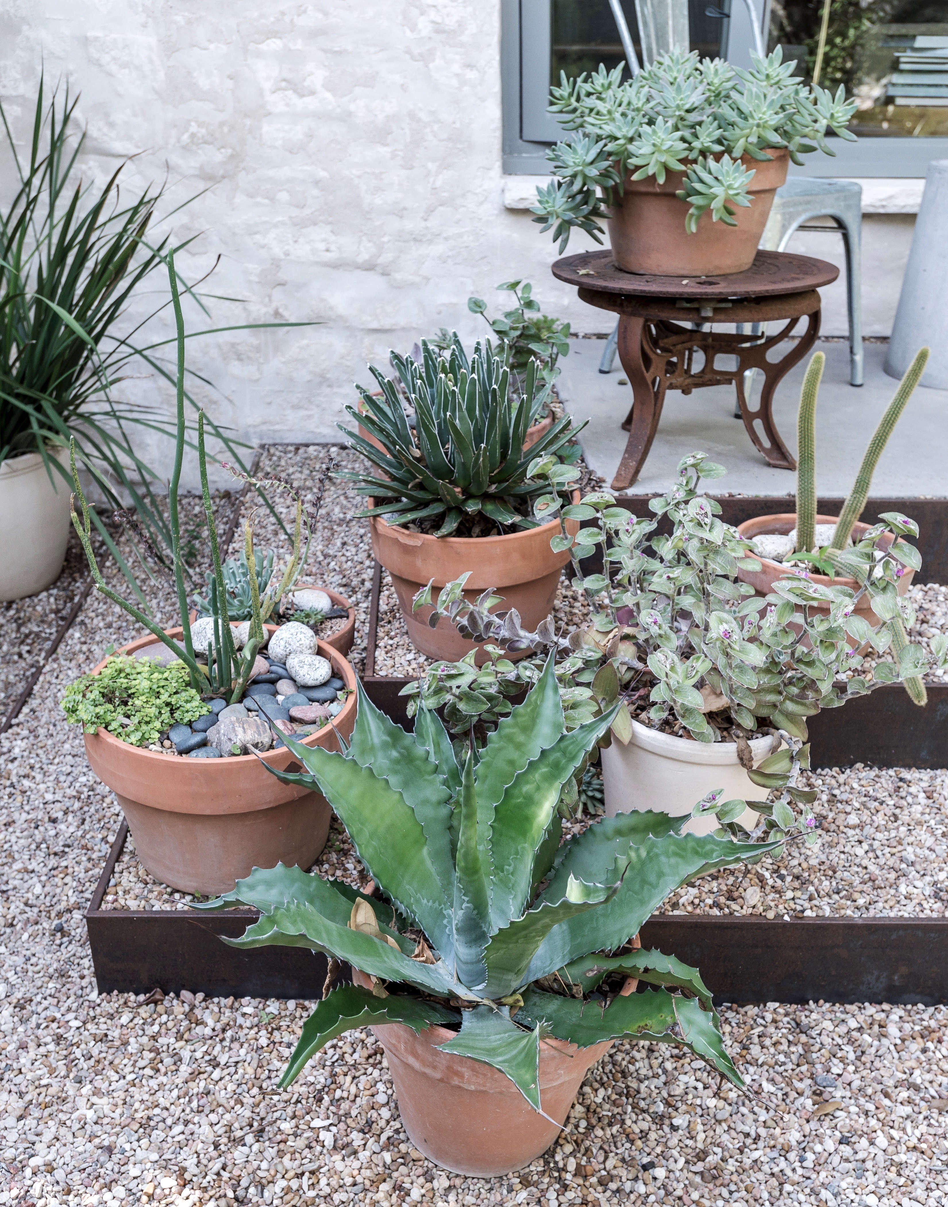how to grow agave in pots