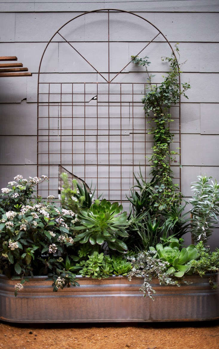 Gardening 101 Aeoniums Gardenista