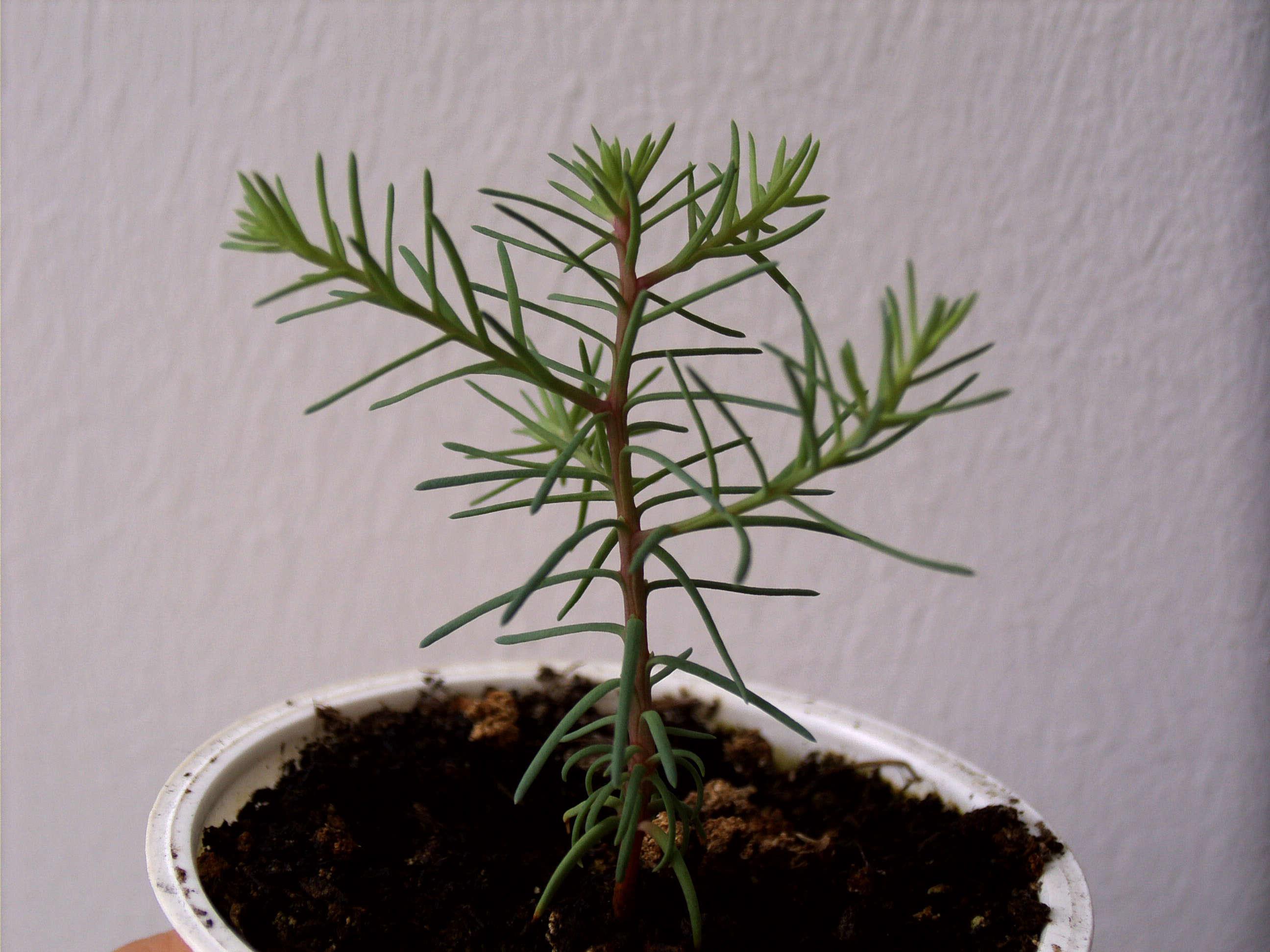 Unthinkable House Plant Tree. Gardening 101  Giant Sequoia Gardenista Sourcebook for Outdoor