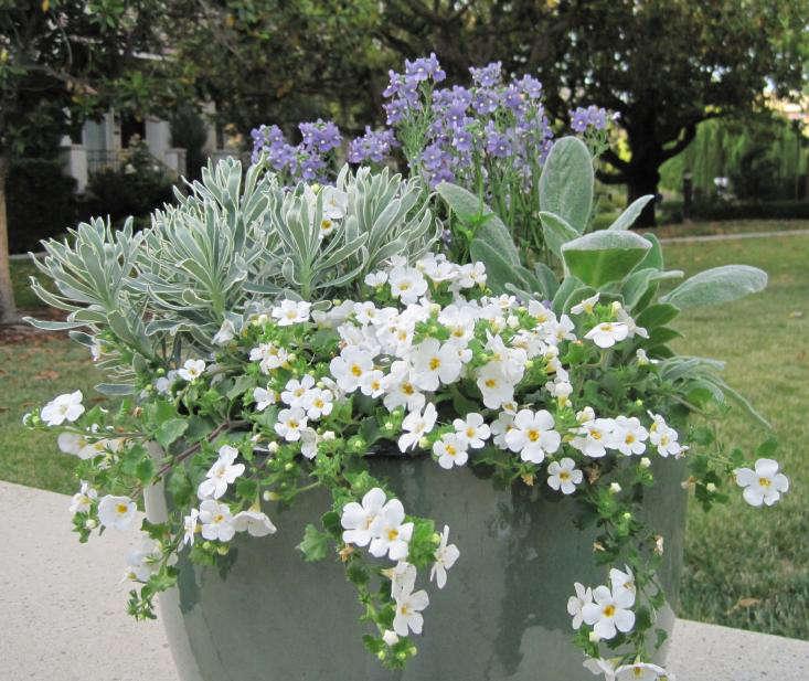 Jardinería 101: Bacopa - Gardenista
