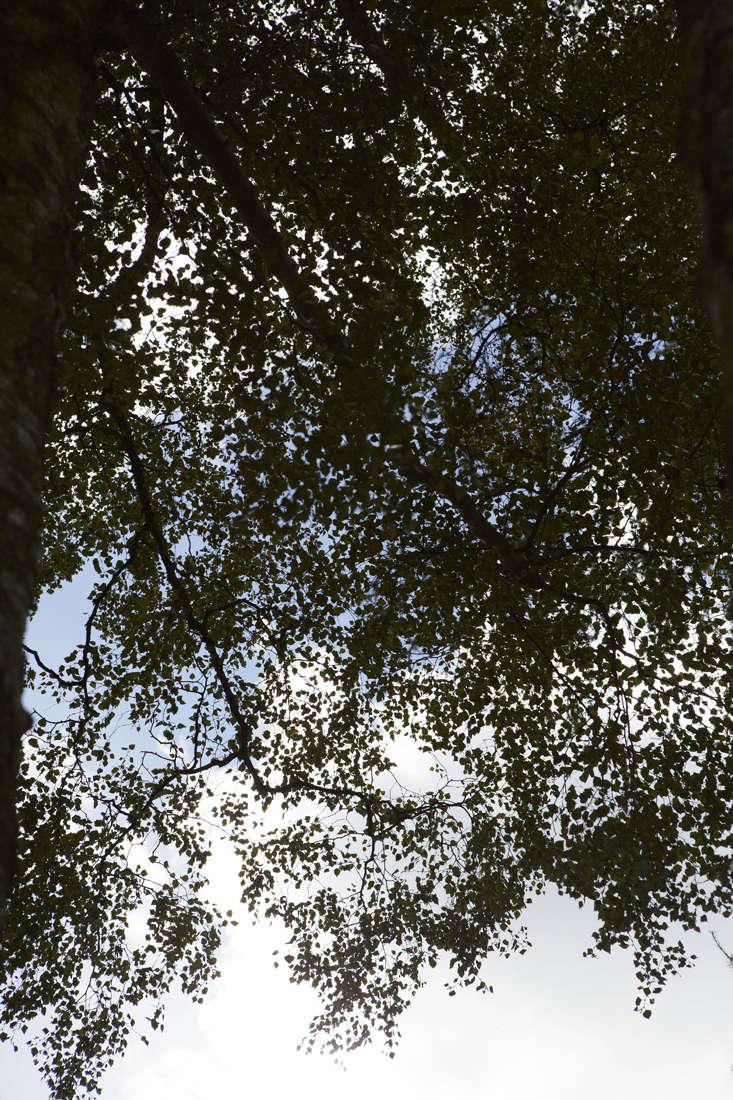 Birch tree, Gardening 101