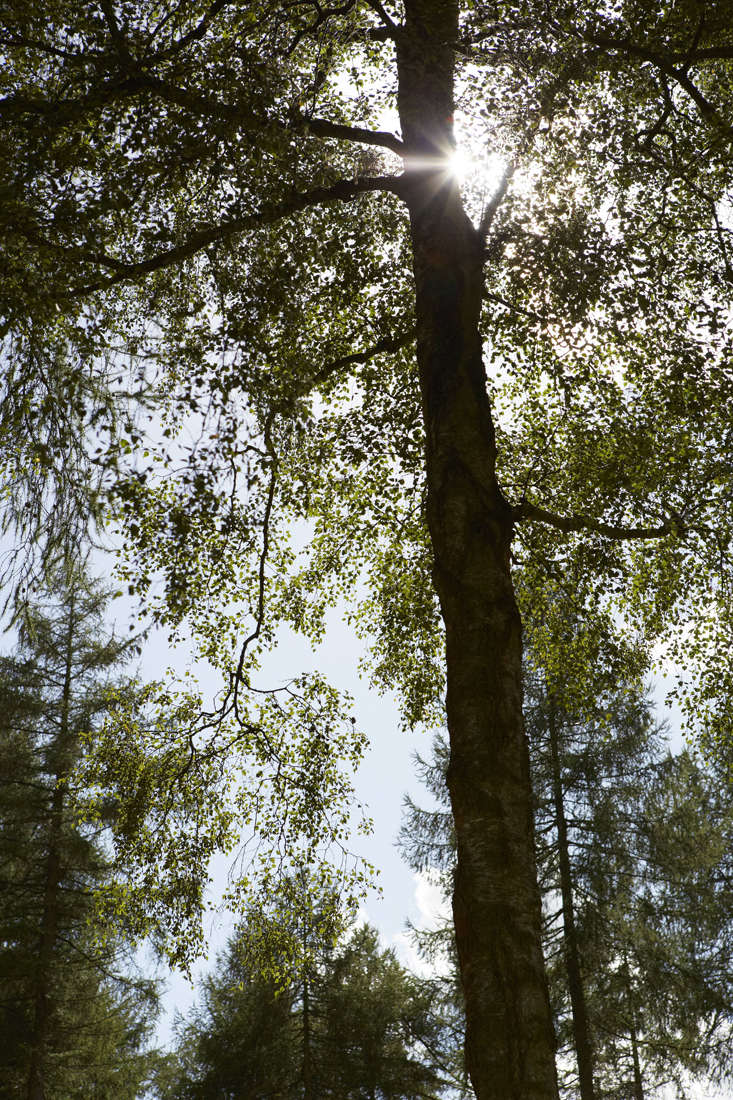 White bark of silver birch can look temptingly like paper or papyrus, with the advantage of being waterproof. Native Americans used it for lining canoes and wigwams.
