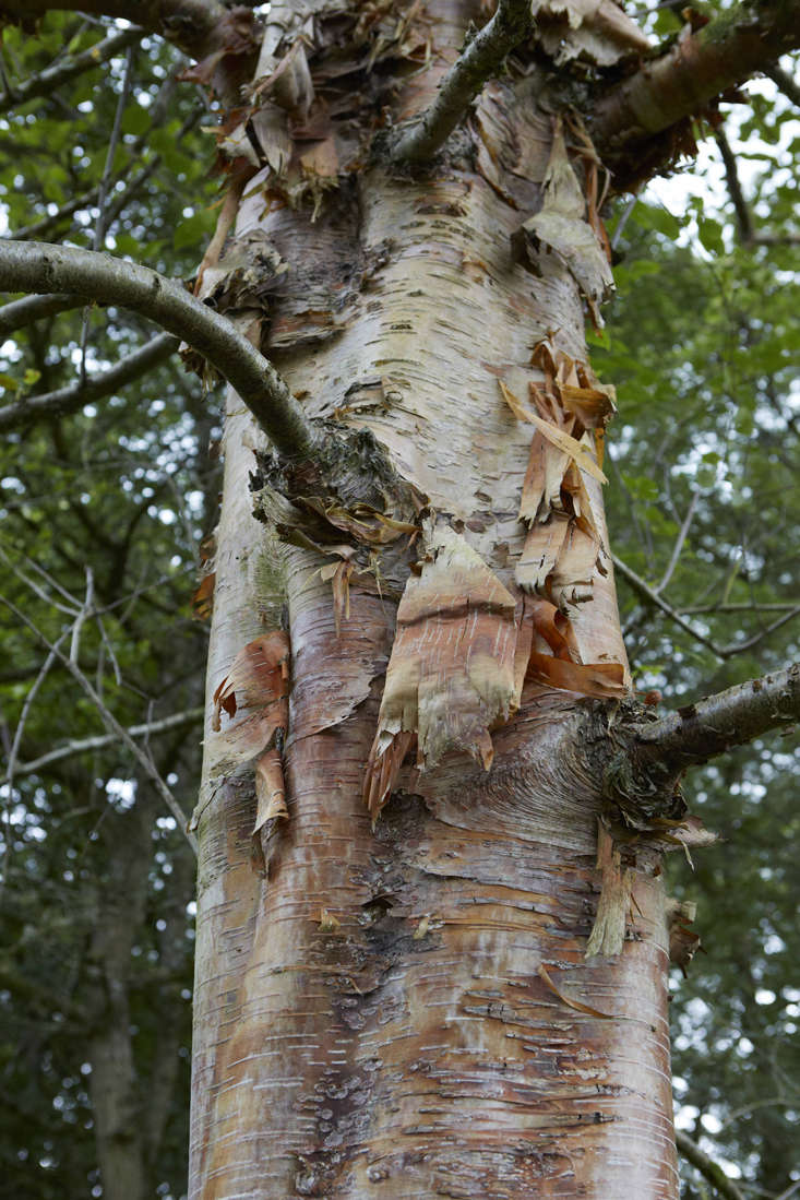 Himalayan birch, which comes in a variety of bark textures as well as colors, from striking white to warm copper.