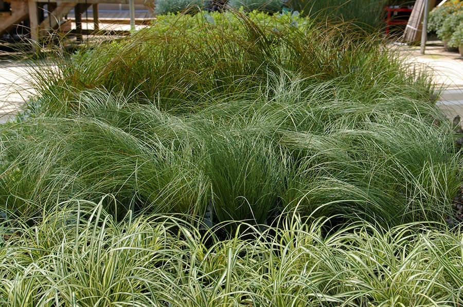 Three varieties of sedge, including &#8\2\16;Amazon Mist&#8\2\17; (in the middle) are available for sale at Atlantic Avenue Garden. Photograph via Atlantic Avenue Garden.