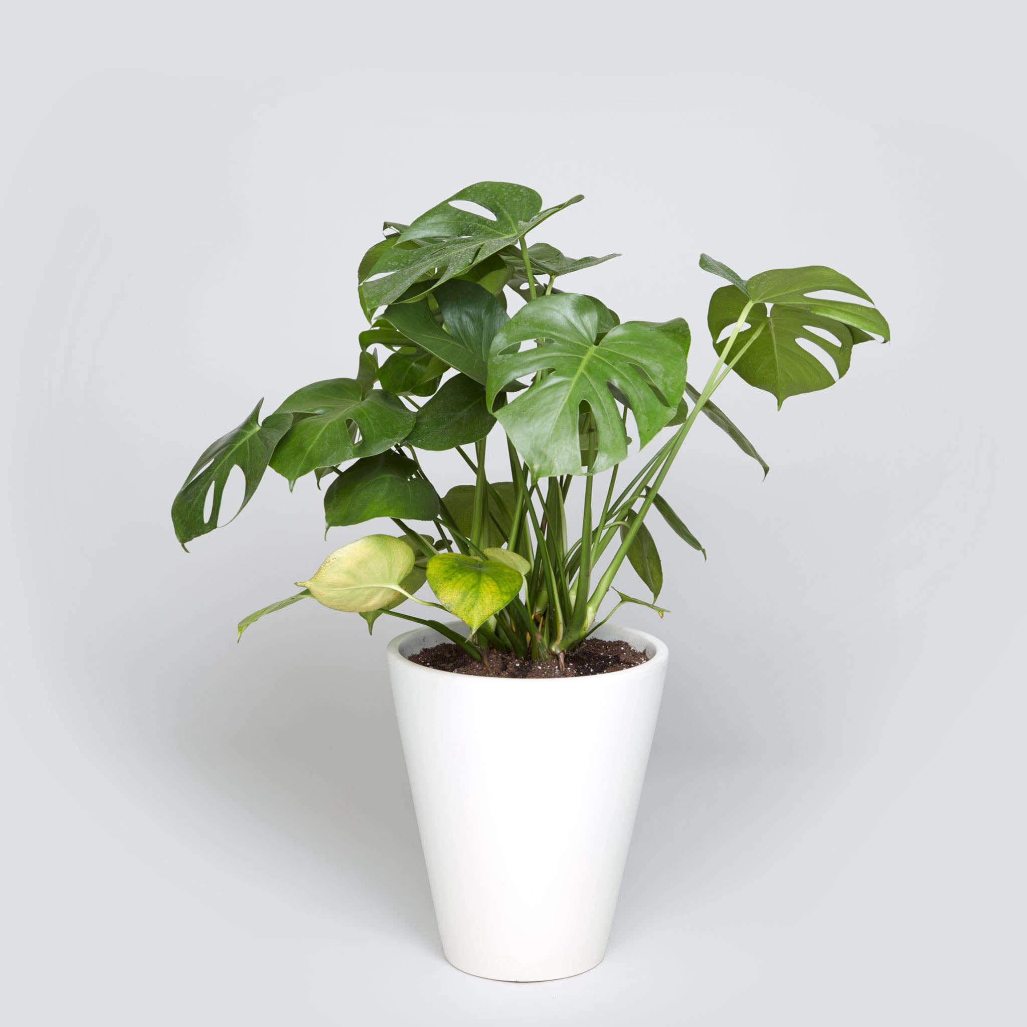 gardening 101 monstera gardenista. Black Bedroom Furniture Sets. Home Design Ideas
