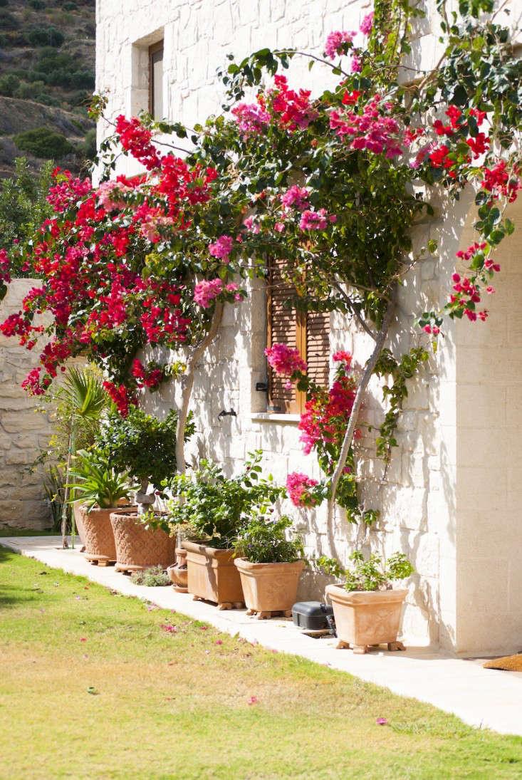 Gardening 101: Bougainvillea   Gardenista: Sourcebook For Outdoor Living    Bloglovinu0027