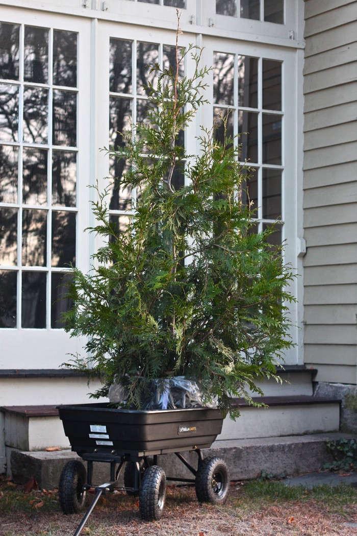 DIY: Plant Your Christmas Tree in the Garden - Gardenista
