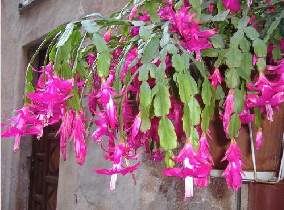 Gardening 101: Christmas Cactus - Gardenista