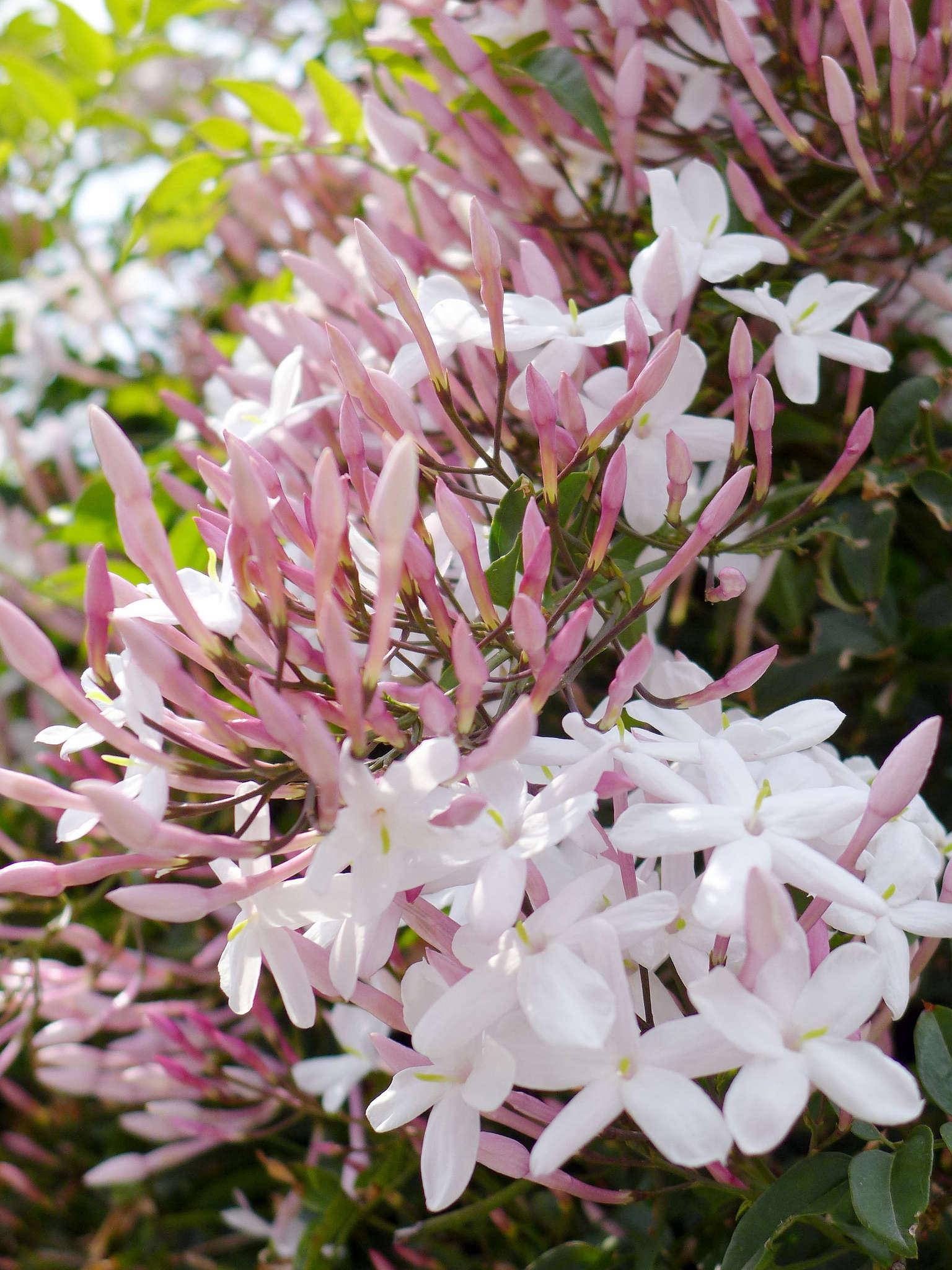 Jasmine: Gardening 101: Jasmine