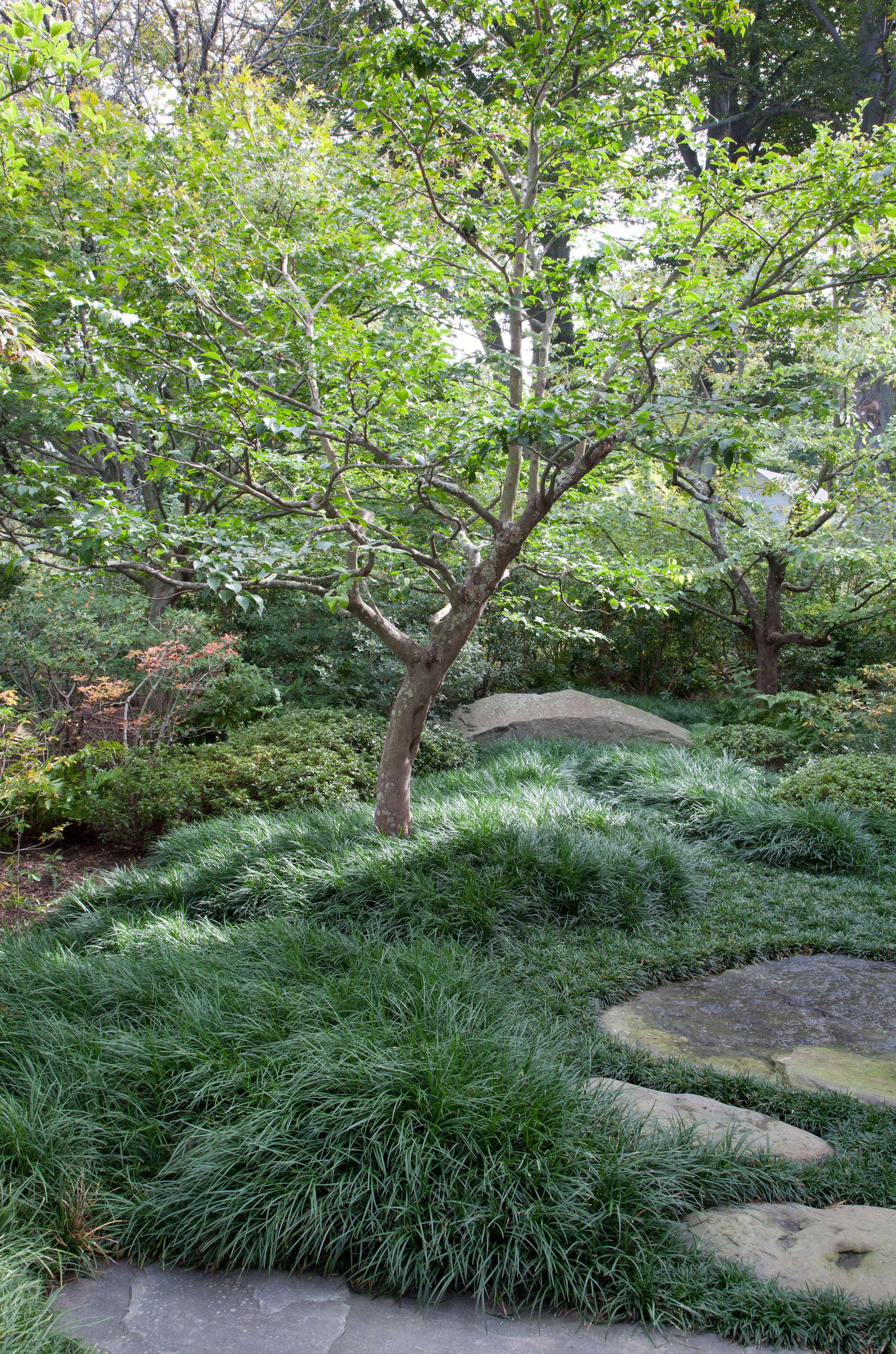 Mondo Grass Around Tree Stone Walkway Japanese Inspired