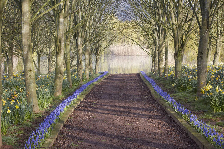Gardening 101 Grape Hyacinth Gardenista