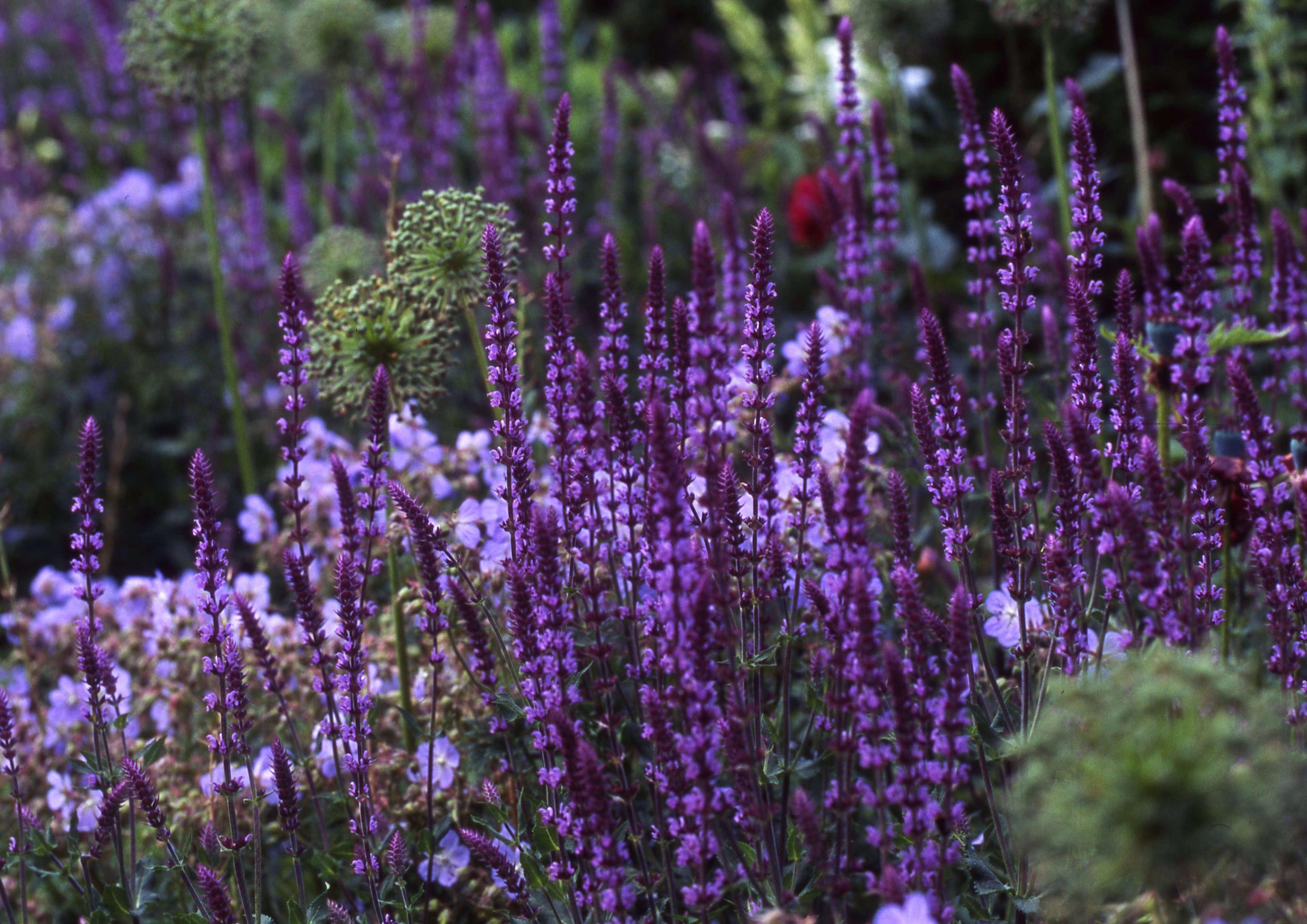 Gardening 101 Salvia Gardenista