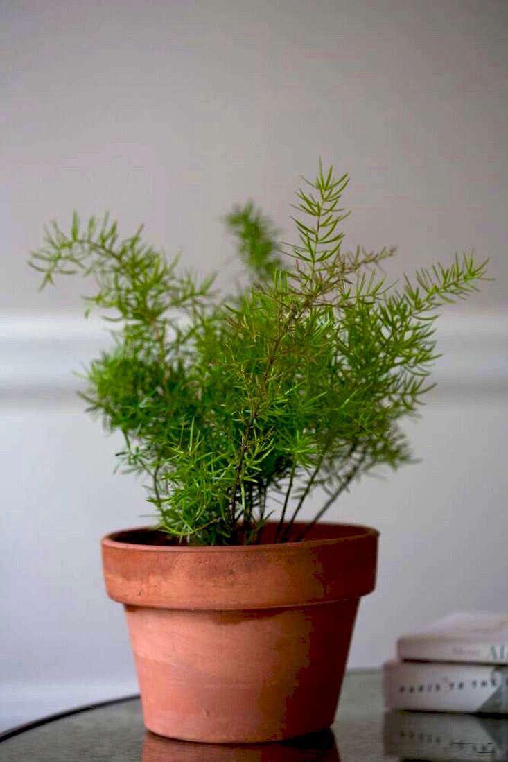 Gardening 101 Asparagus Ferns Gardenista