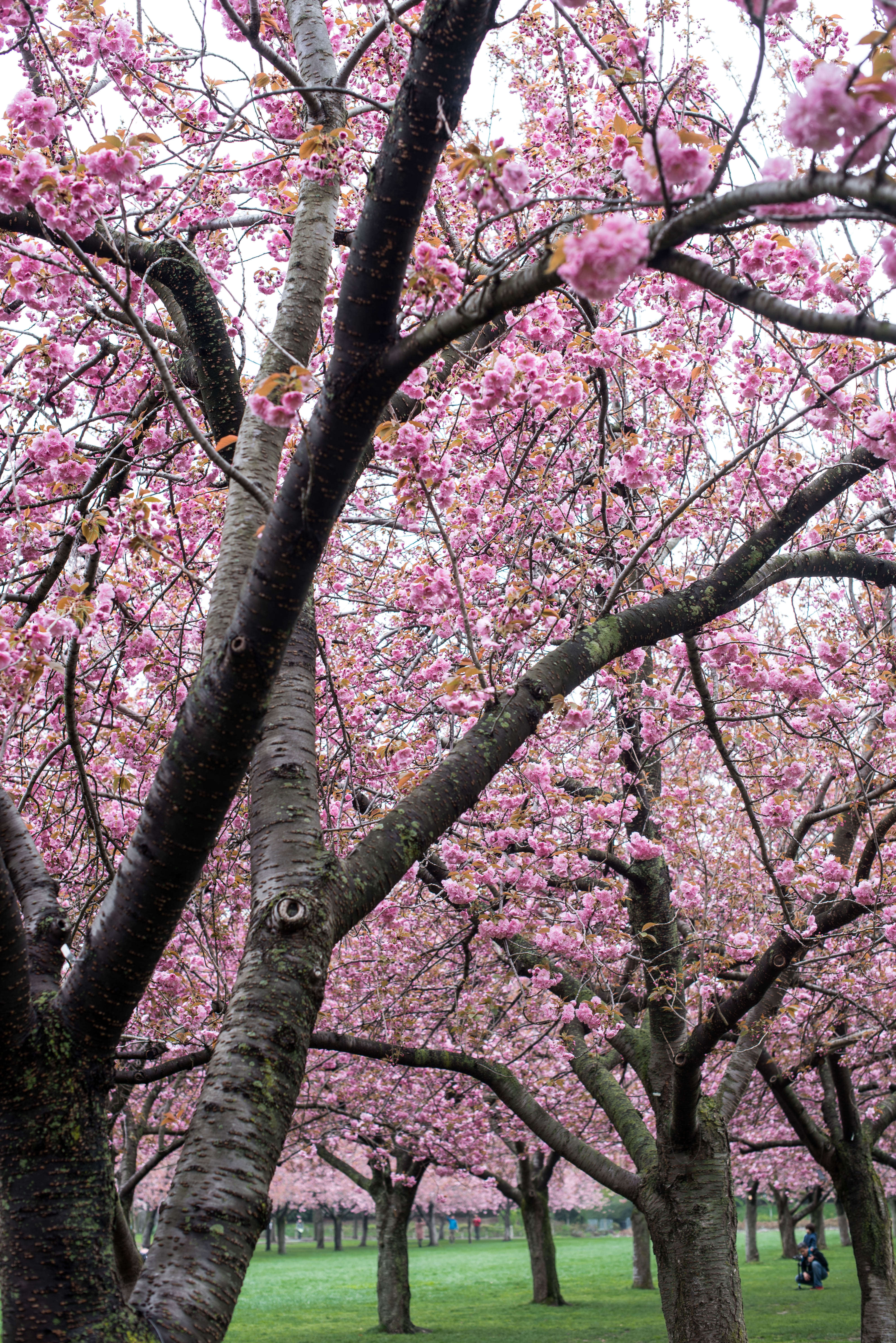 Cherry Blossoms 7 Trees To See At Brooklyn Botanic Garden