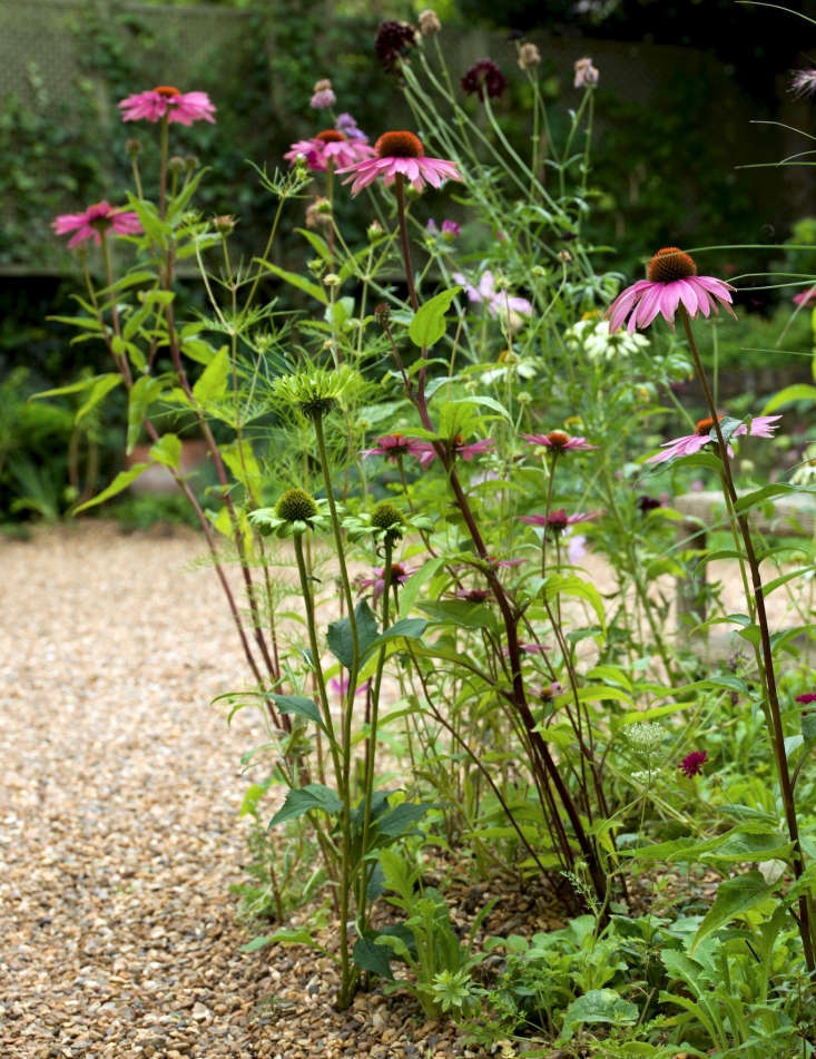 gravel garden London Carol Dunster echinacea by Nicholas Hodgson