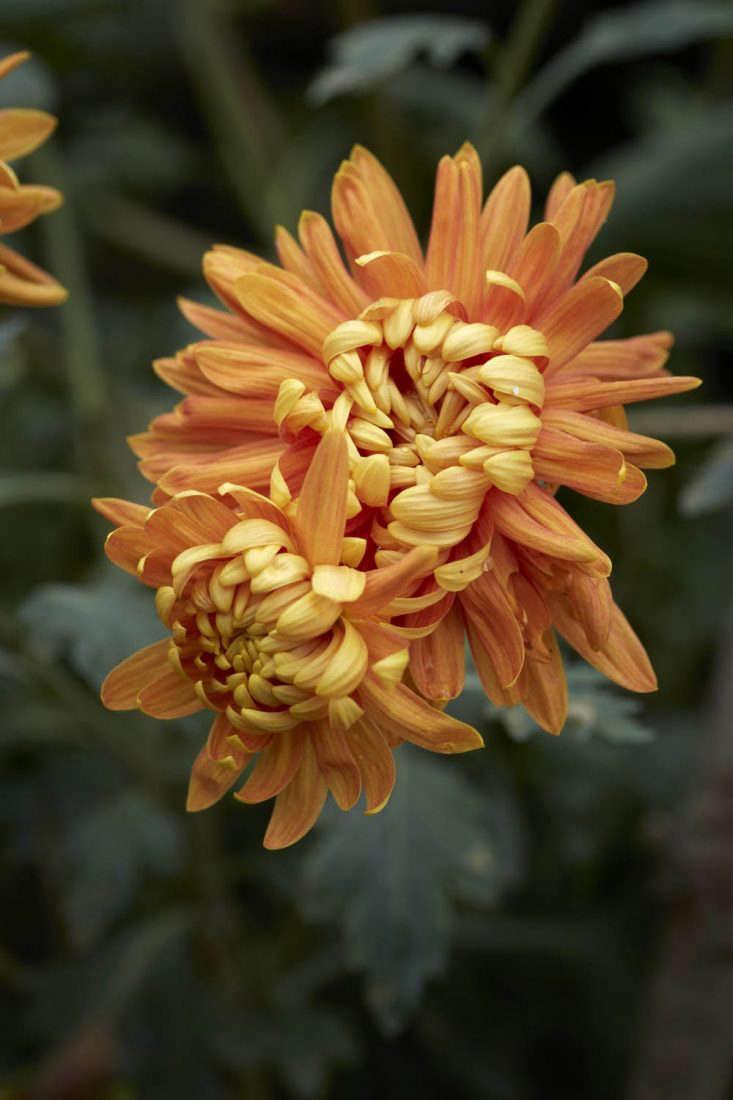 Chrysanthemum 'Orange Allouise'.