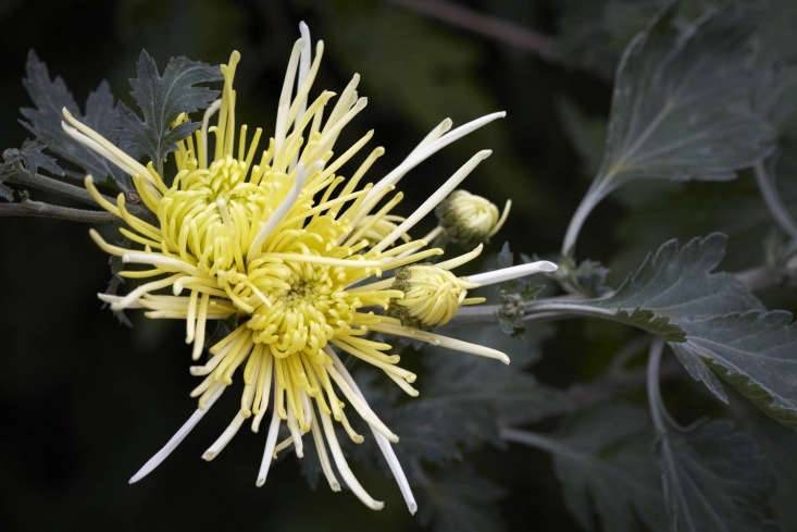 'White Spider', or similar, since wholesale plant suppliers are not above mixing the orders.