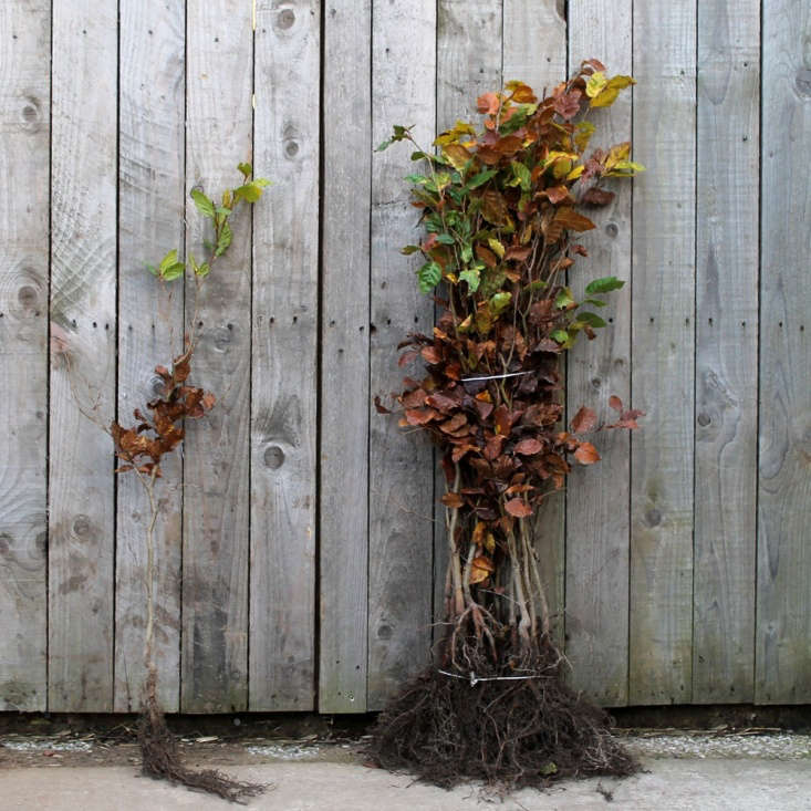 See Secrets of an English Head Gardener: How to Transplant Shrubs and Perennials. Photograph via Impact Plants.