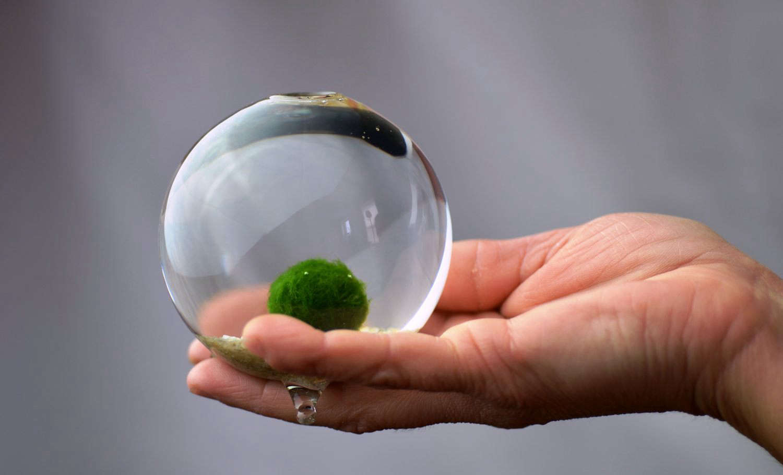 Japanese Moss Ball Aquarium