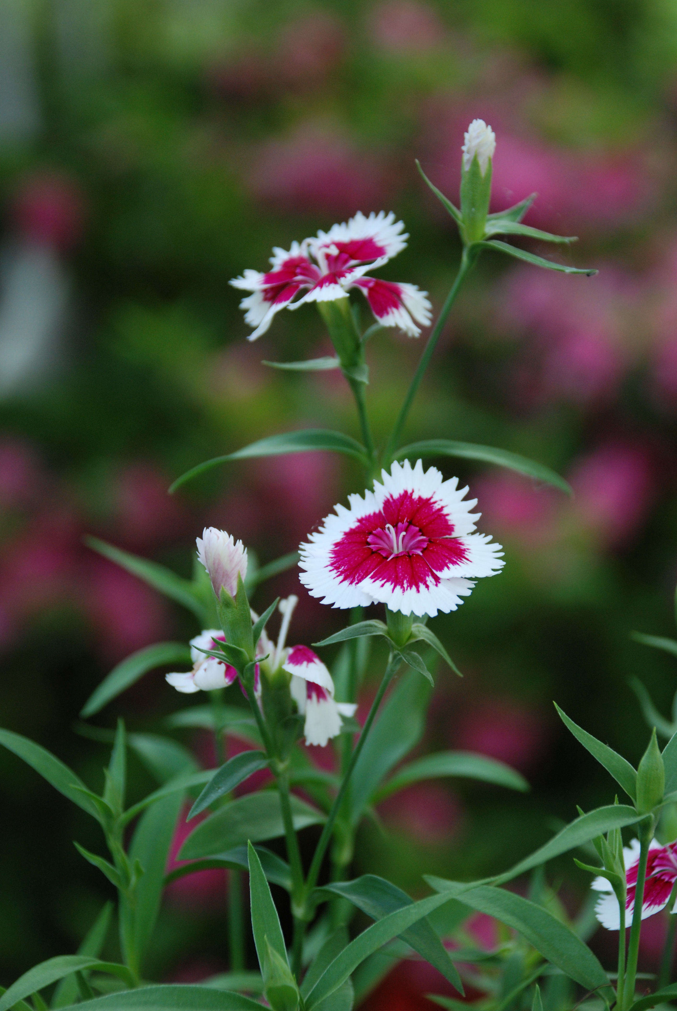 Dianthus Annual Or Perennial