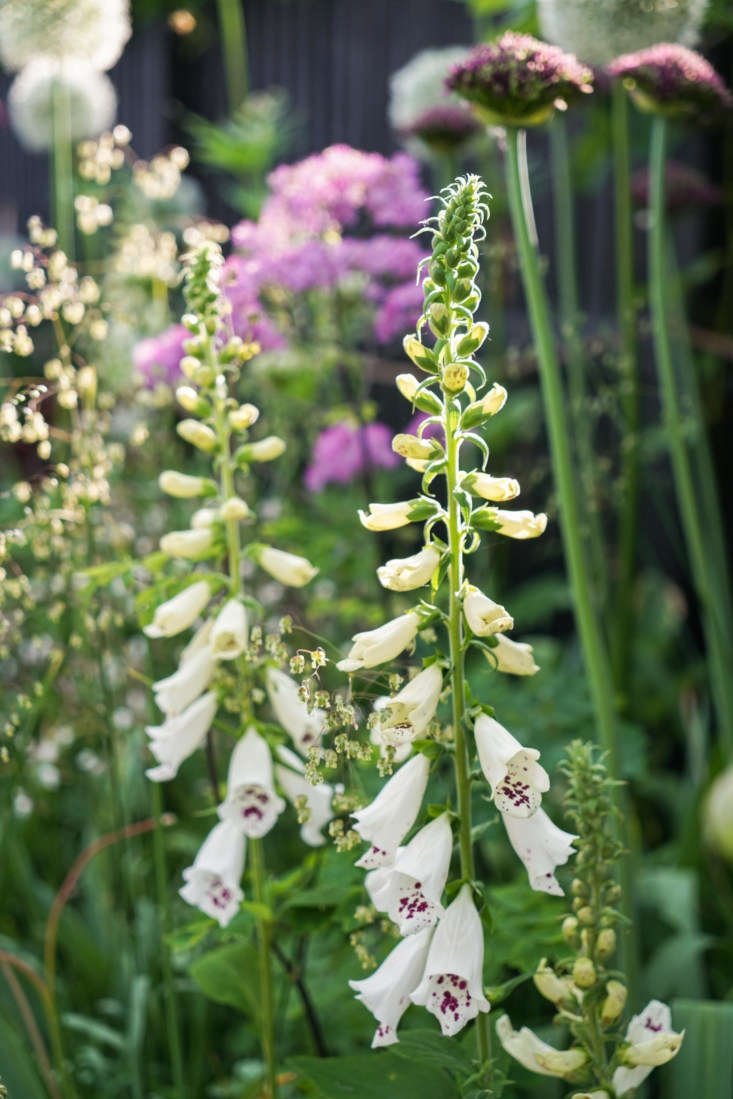 Quaking grass serves as a useful backdrop to showier garden flowers, as seen in this combination of foxgloves and briza. See more in Before & After: A Seaside English Garden by Farlam & Chandler. Photograph courtesy of Farlam & Chandler.