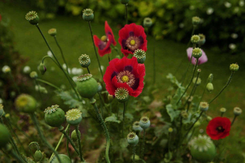 Gardening 101 Opium Poppy Gardenista