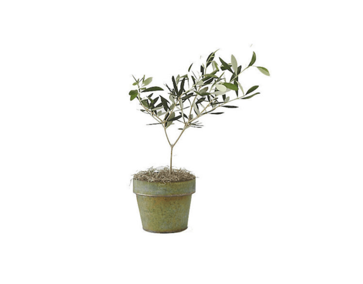 A similar -inch-high live Olive Tree (in a black metal pot, not shown) is $48 from Terrain.