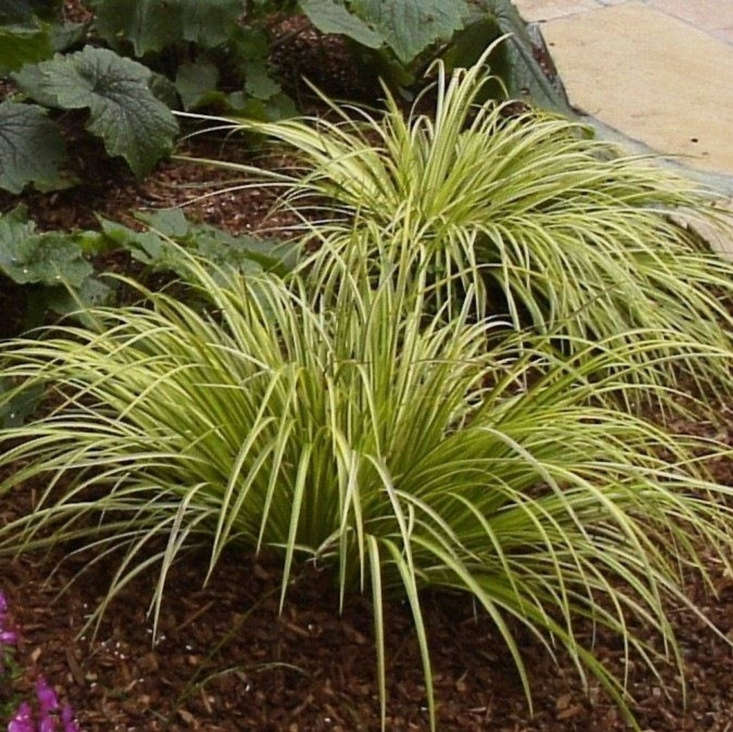 'Ogon' has a clumping form. A 6-inch plant in a 3-inch pot is $9.88 from 9EzTropical via Etsy.